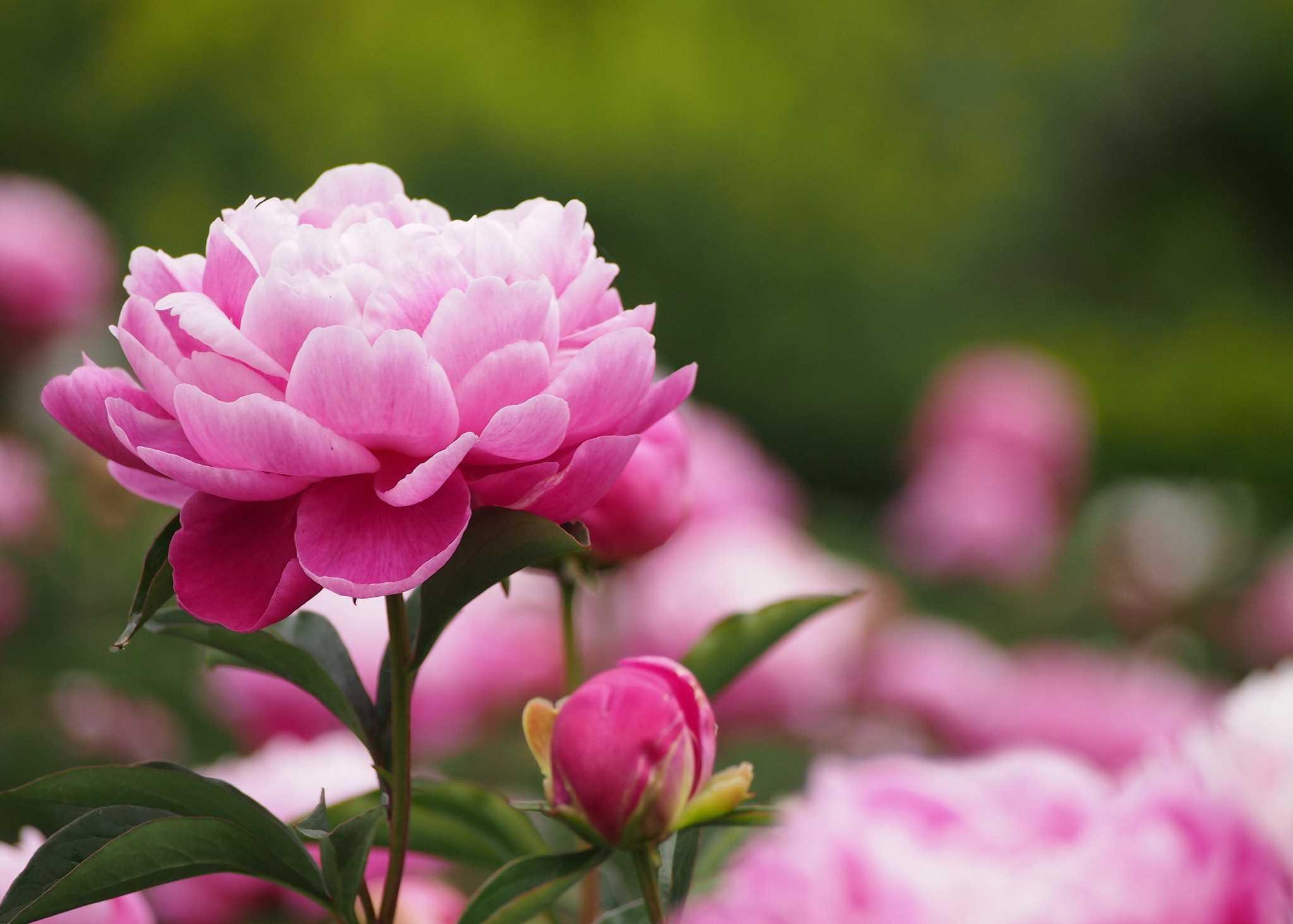Hoa Mẫu đơn thanh tao, quý phái biểu trưng cho tình yêu đẹp