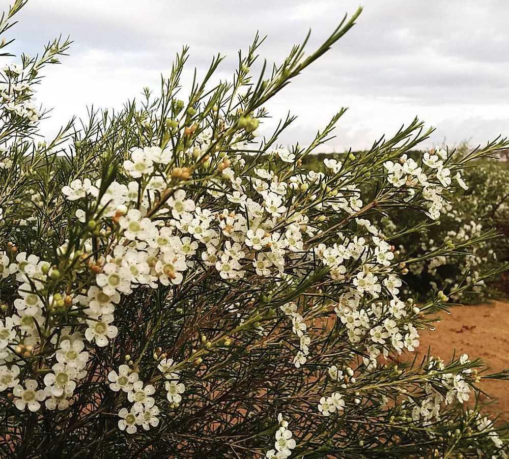 Hoa Thanh Liễu loài hoa biểu trưng cho tình yêu ngọt ngào, say mê