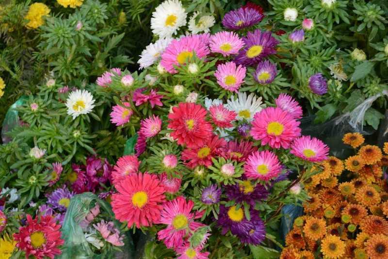 Hoa cúc nhiều màu, loài hoa đại diện cho tình yêu đẹp, trong sáng