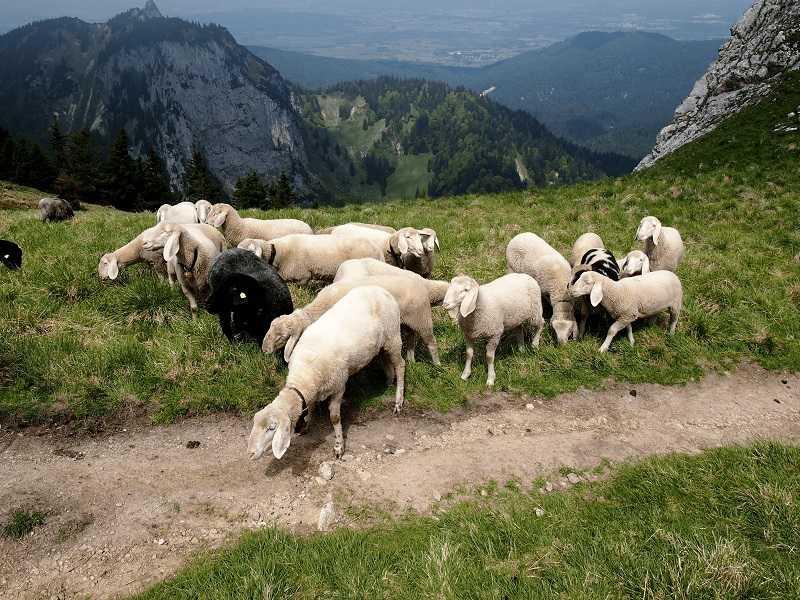 Tế bào tươi được tách chiết từ phôi thai cừu có rất nhiều công dụng quý giá